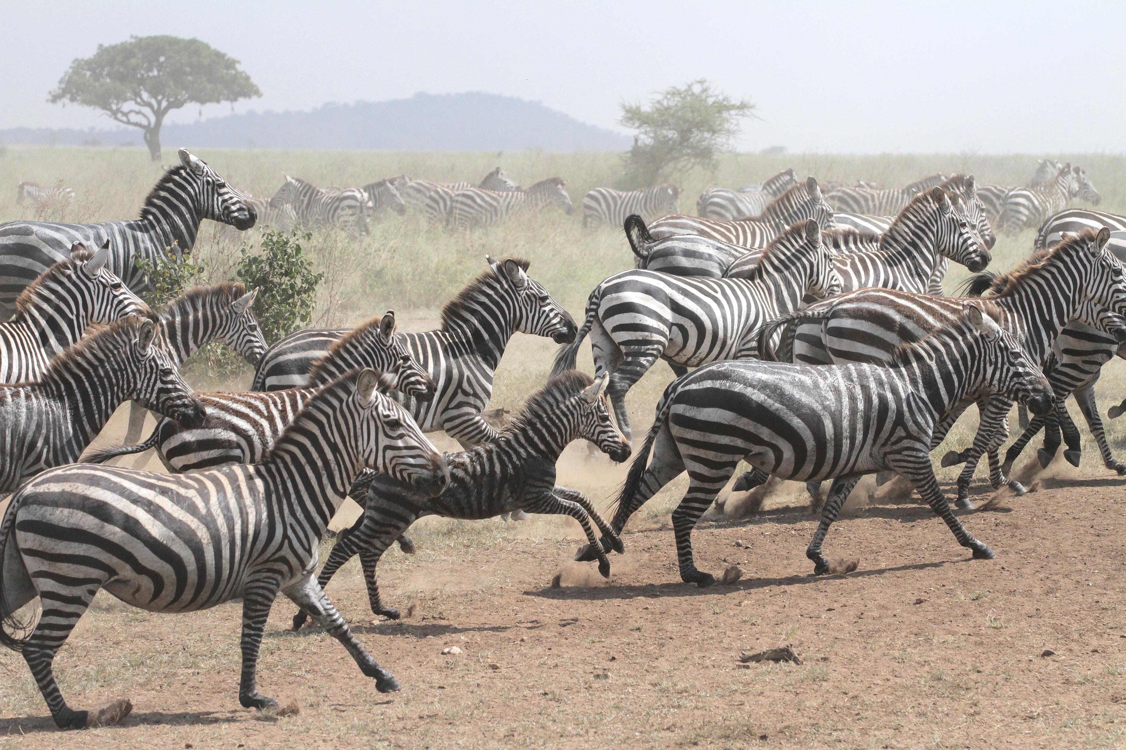 Zebra stampede in Tanzania